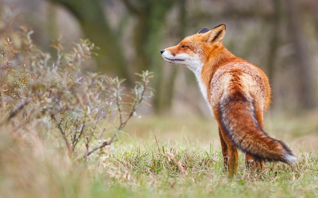 How to Work with the Power of Fox Spirit Energy
